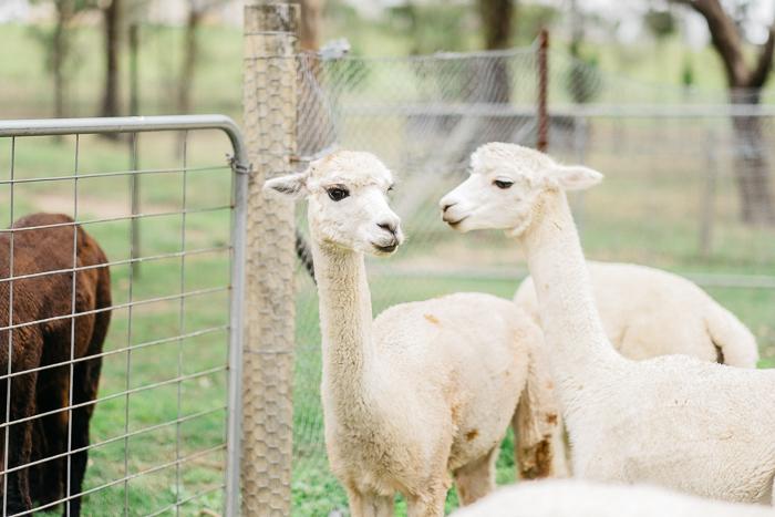 alpaca-bilpin-006