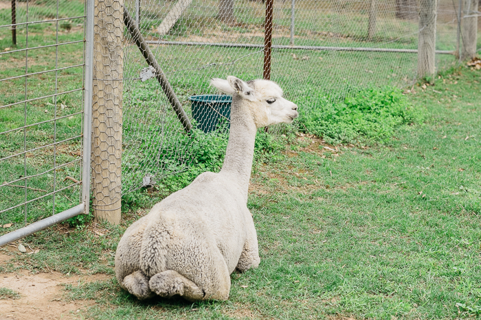 alpaca-bilpin-009
