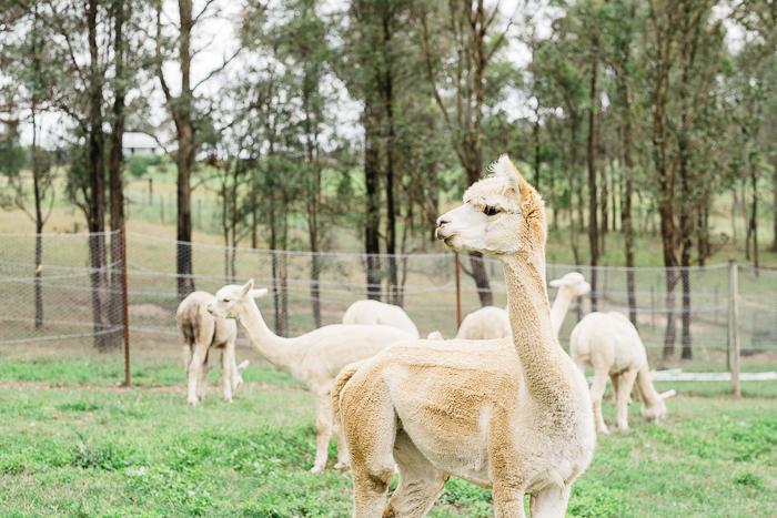 alpaca-bilpin-011