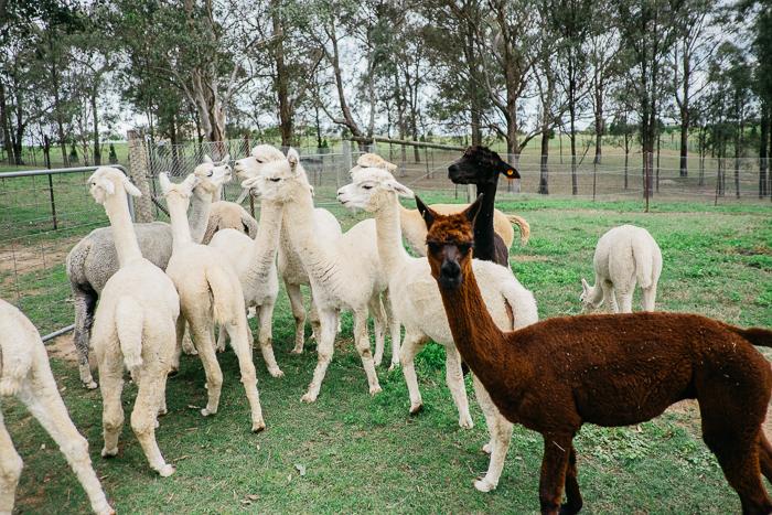 alpaca-bilpin-019