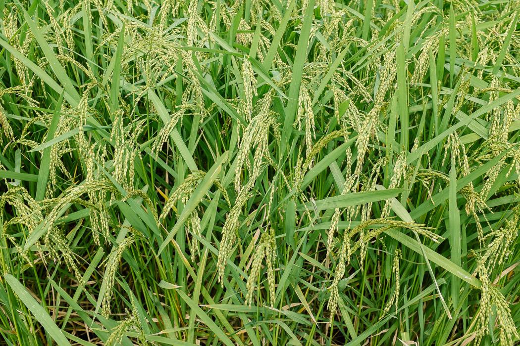 ubud-tegallalang-rice-fields-21