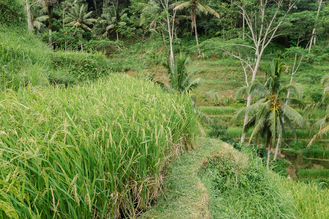 ubud-tegallalang-rice-fields-23